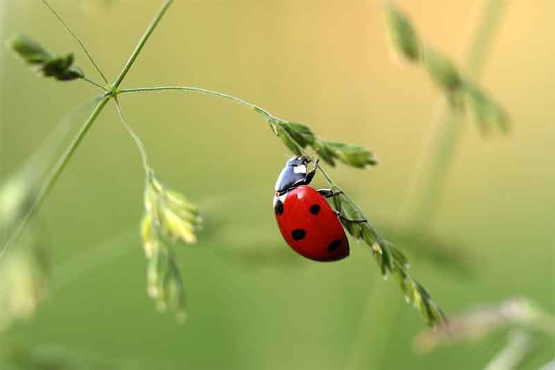 imitating ladybird fly fishing